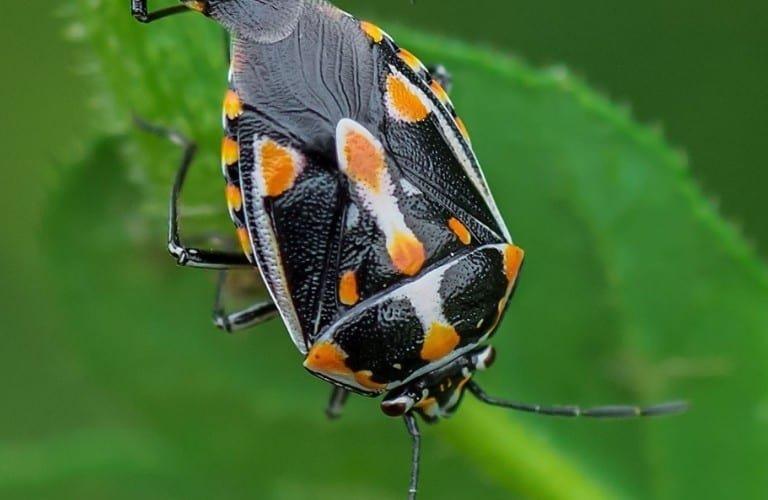 A bagrada bug with black, orange, and white markings.