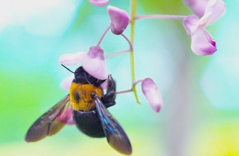 A carpenter bee hanging from a sweet pea blossom.