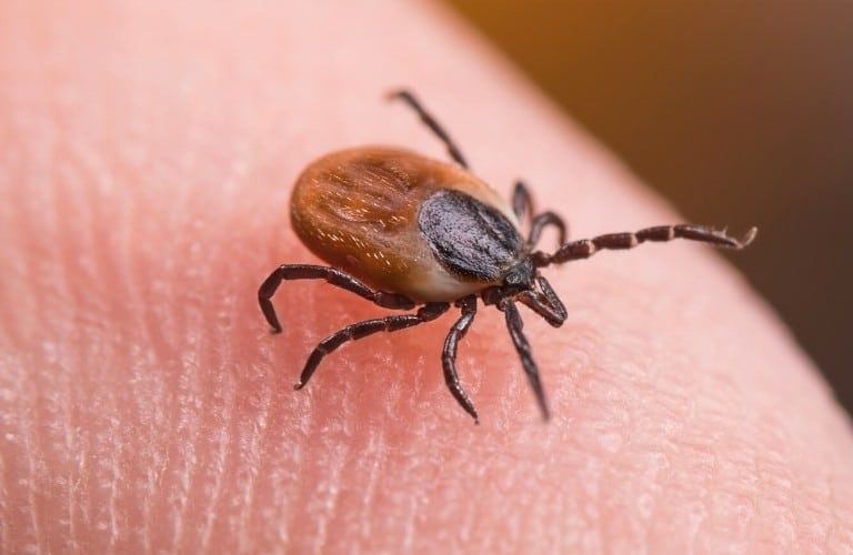 A blacklegged tick walking on a person's fingertip.