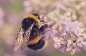 A bumble bee clinging to tiny purple flowers.