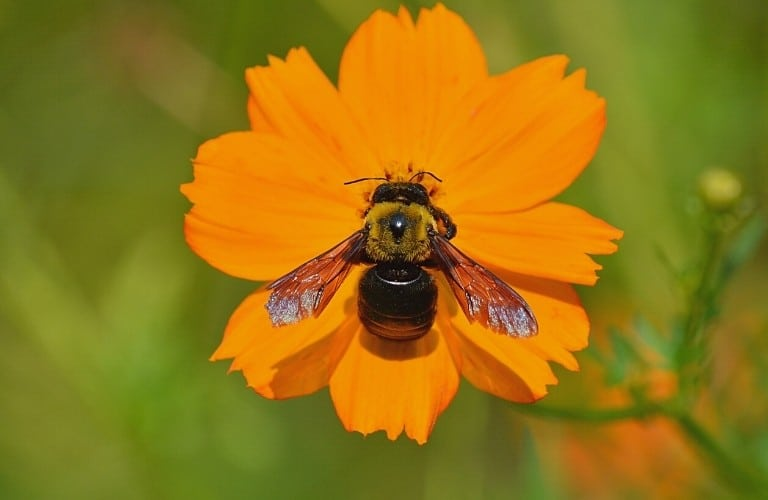 A carpenter bee investigating an orange flower.