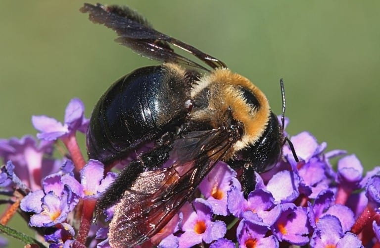 A carpenter bee with a shiny black abdomen on purple flowers of a butterfly bush.