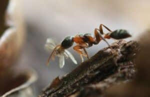 An oak ant on a branch with a flying insect in its jaws.