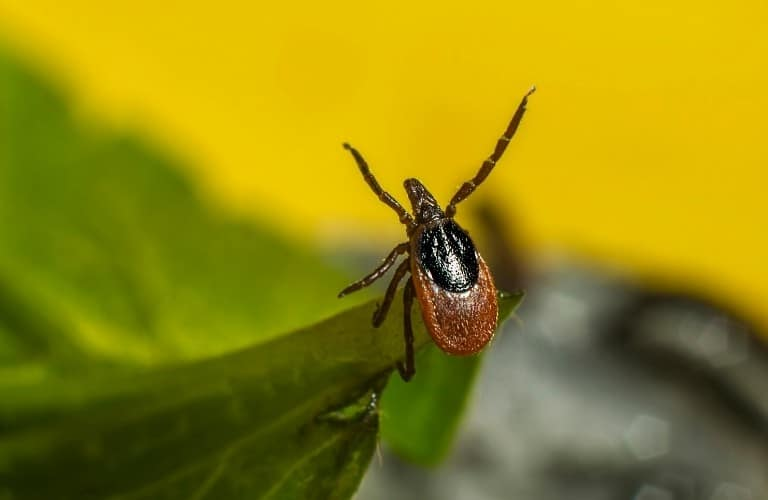 A tick perched on the tip of a leaf.