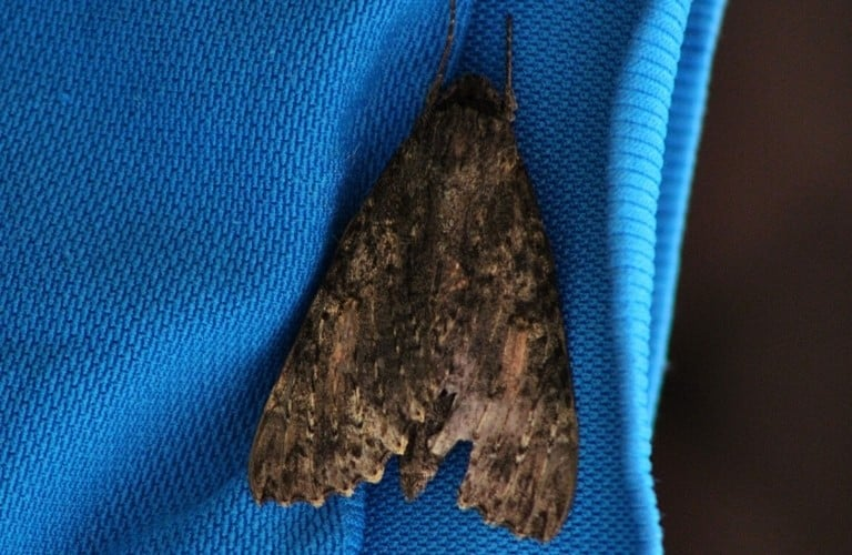 A brown moth hanging on a blue article of clothing.