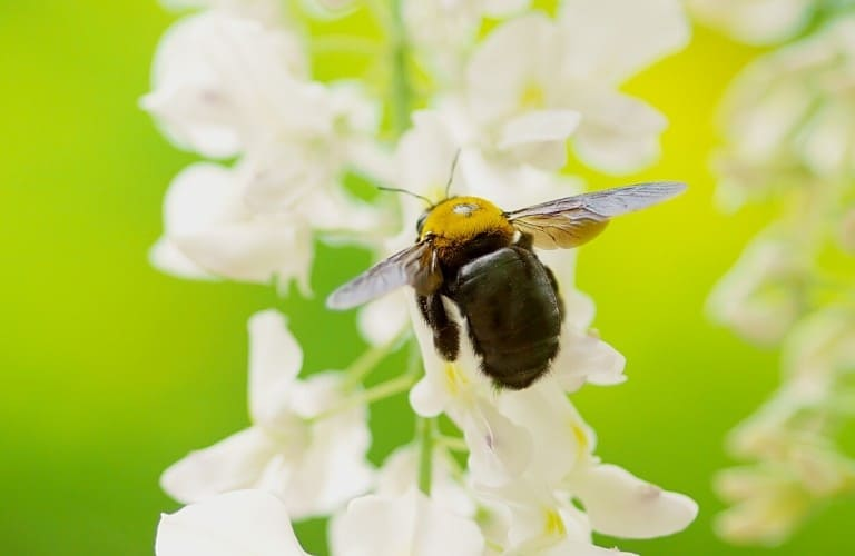 A carpenter bee hovering over small white flowers.