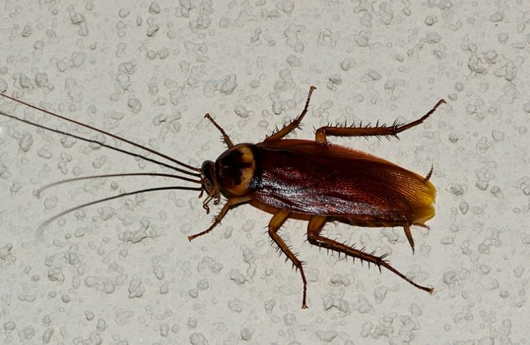 An American Roach on a white, textured surface.
