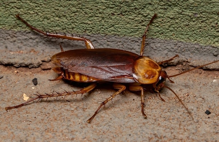 An American cockroach on beige and green cement.