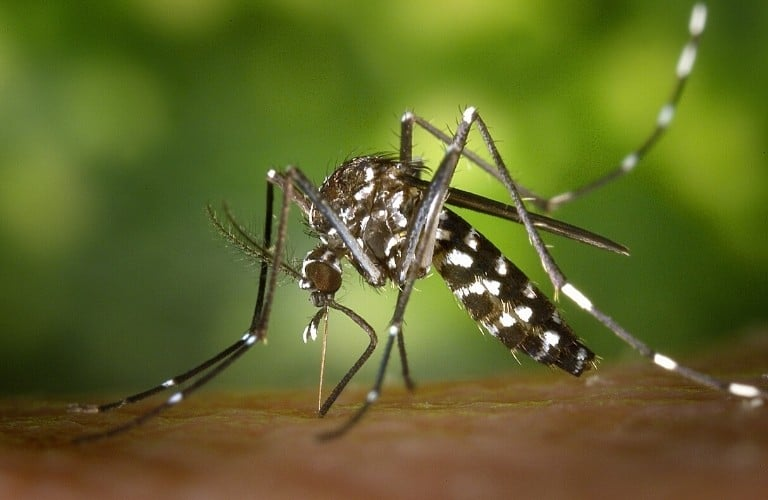 An Asian tiger mosquito preparing to feed.