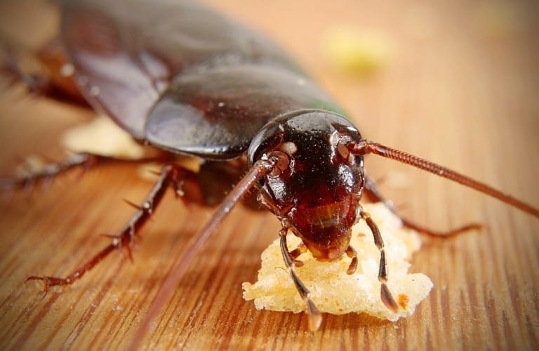 A cockroach feasting on a large crumb on the floor.