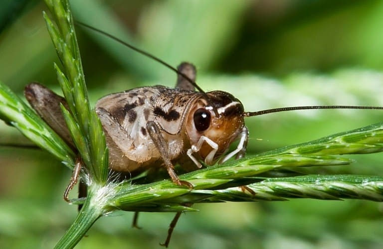 A brown cricket perched on a grass seedhead.