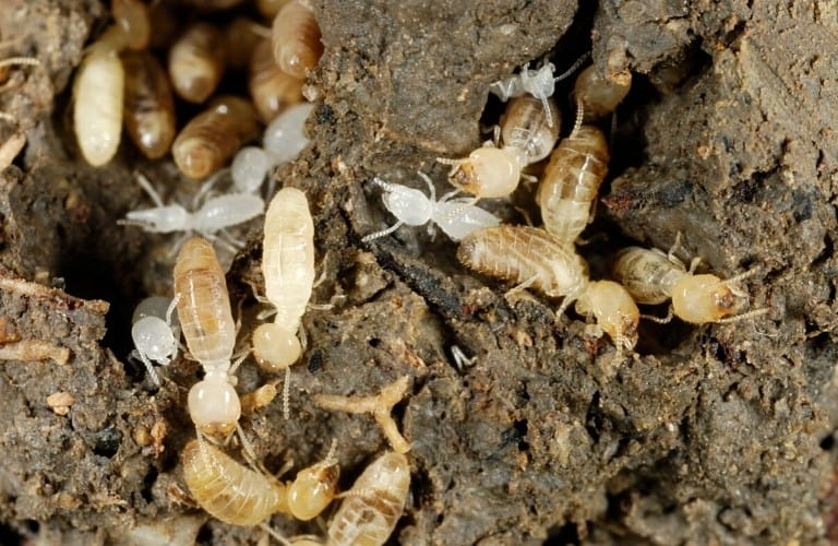 A group of soldier and worker termites.