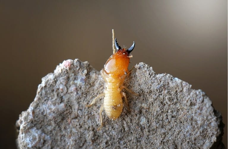 A single termite perched on top of a rock.