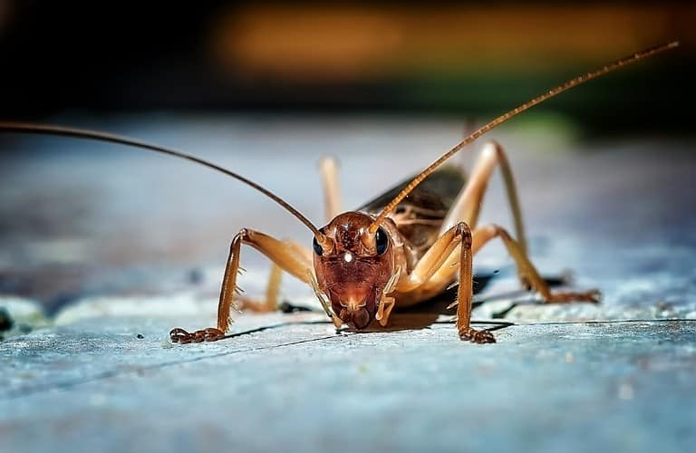 A close-up, frontal view of a cricket.