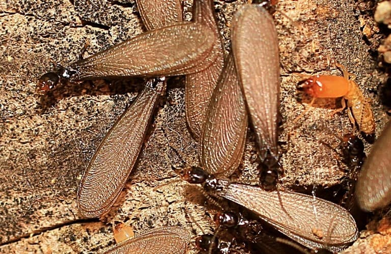 Several termites with wings and a soldier termite.
