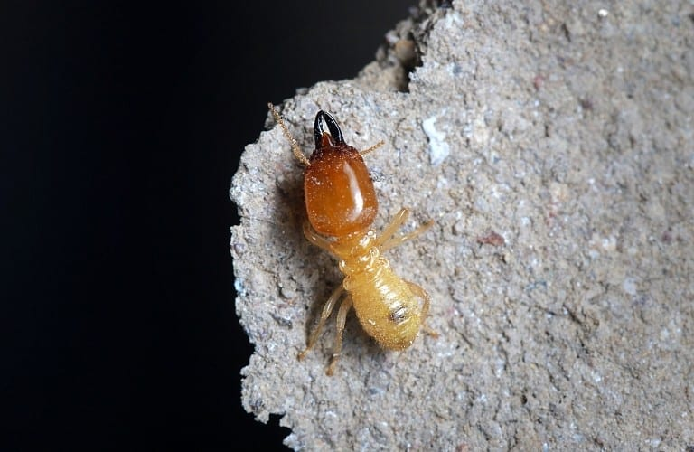 A single termite on a rock set against a black background.