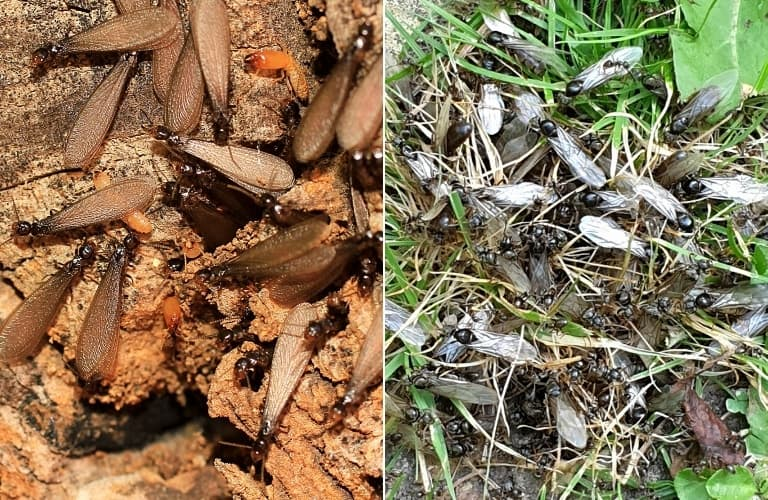 Swarming drywood termites on the left; swarming black ants on the right.