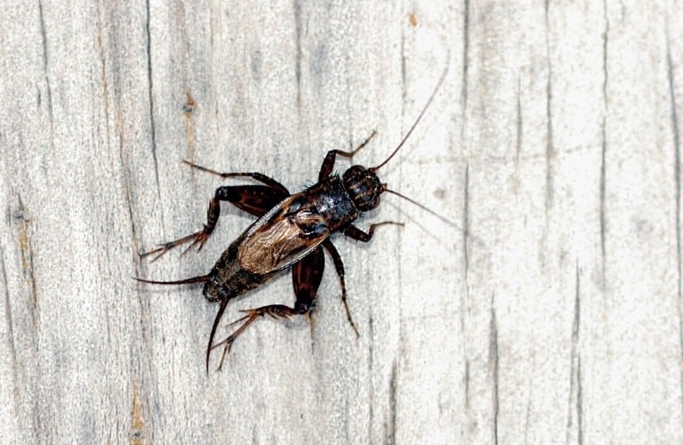 A ground or wood cricket on light-colored board.