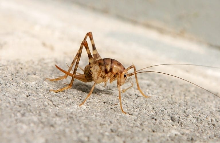 A camel cricket walking on concrete.