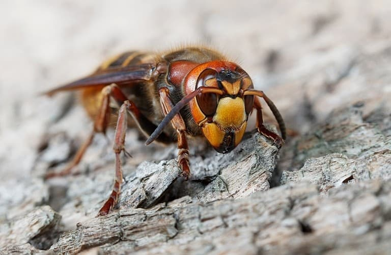 A large hornet crawling across bark on a tree.