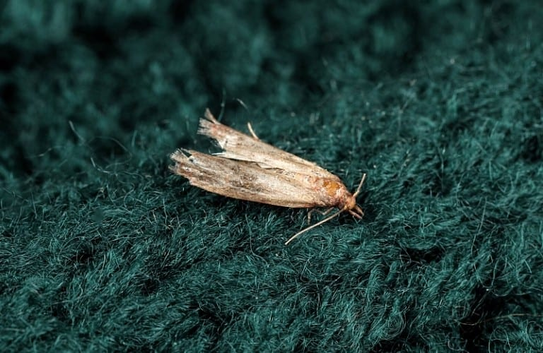 A common clothes moth on a dark green sweater.