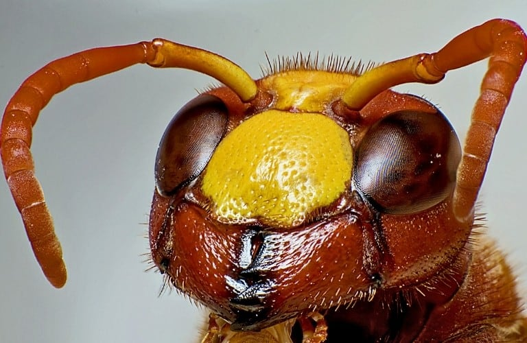 An extreme close-up shot of a hornet's face.