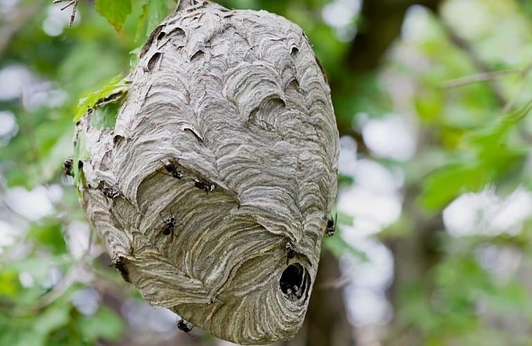 A hornet nest in a tree.