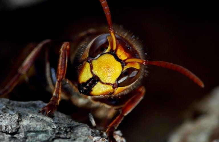 A close-up image of a hornet's face on a dark background.