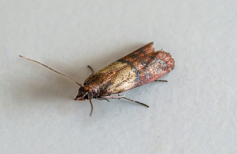 An Indian meal moth on white background.