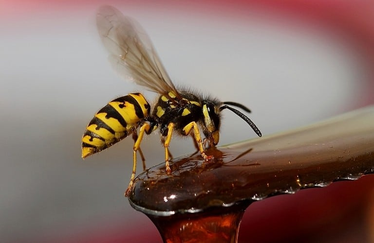 A yellow jacket drinking a sticky liquid.