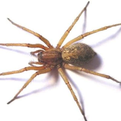 A mature hobo spider on a white background.