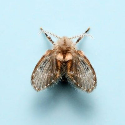 A close-up look at a drain fly on a light blue background.