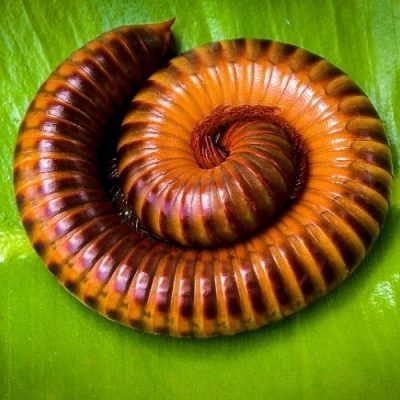 A brown and orange millipede curled up tightly on a green leaf.